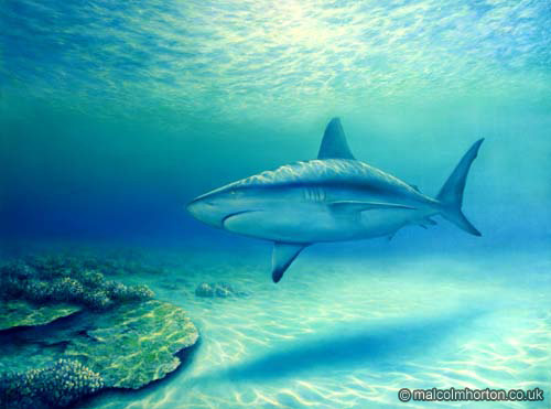 Lone Grey Reef Shark